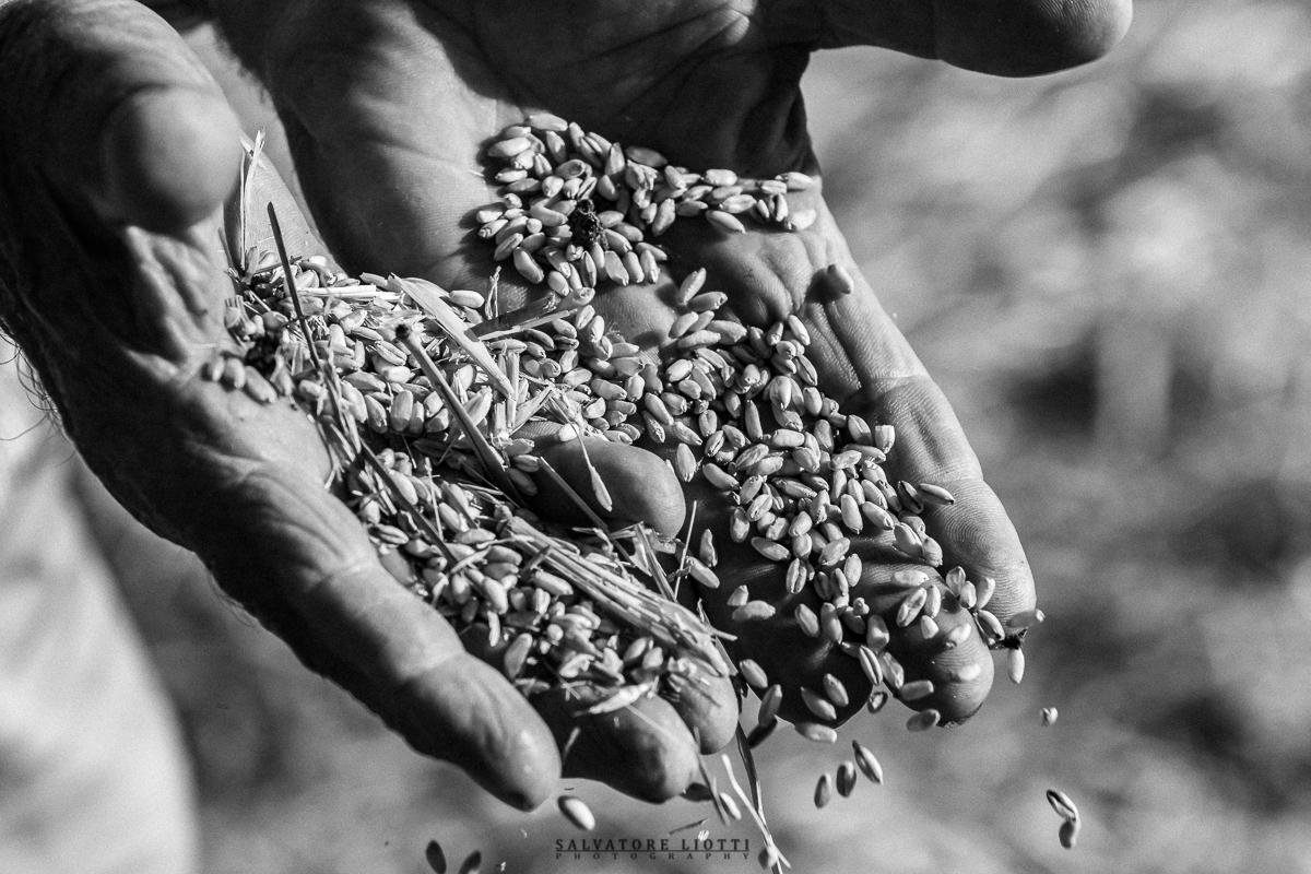 mani del contadino mostrano chicci di grano