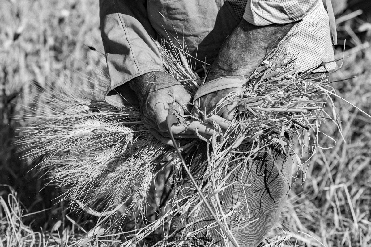 dettaglio mani con spighe di grano