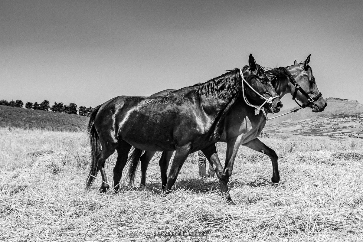 cavalli che calpestano le spighe di grano