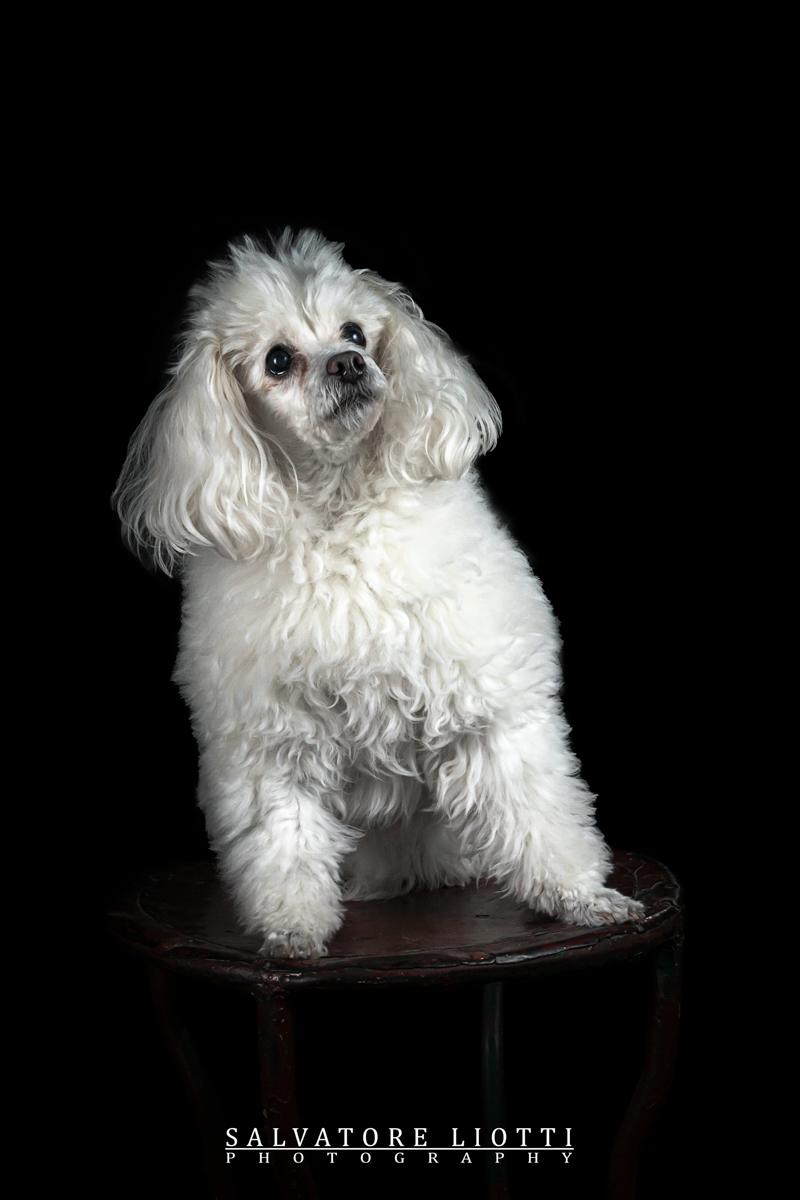 cane barboncino bianco seduto su sgabello antico