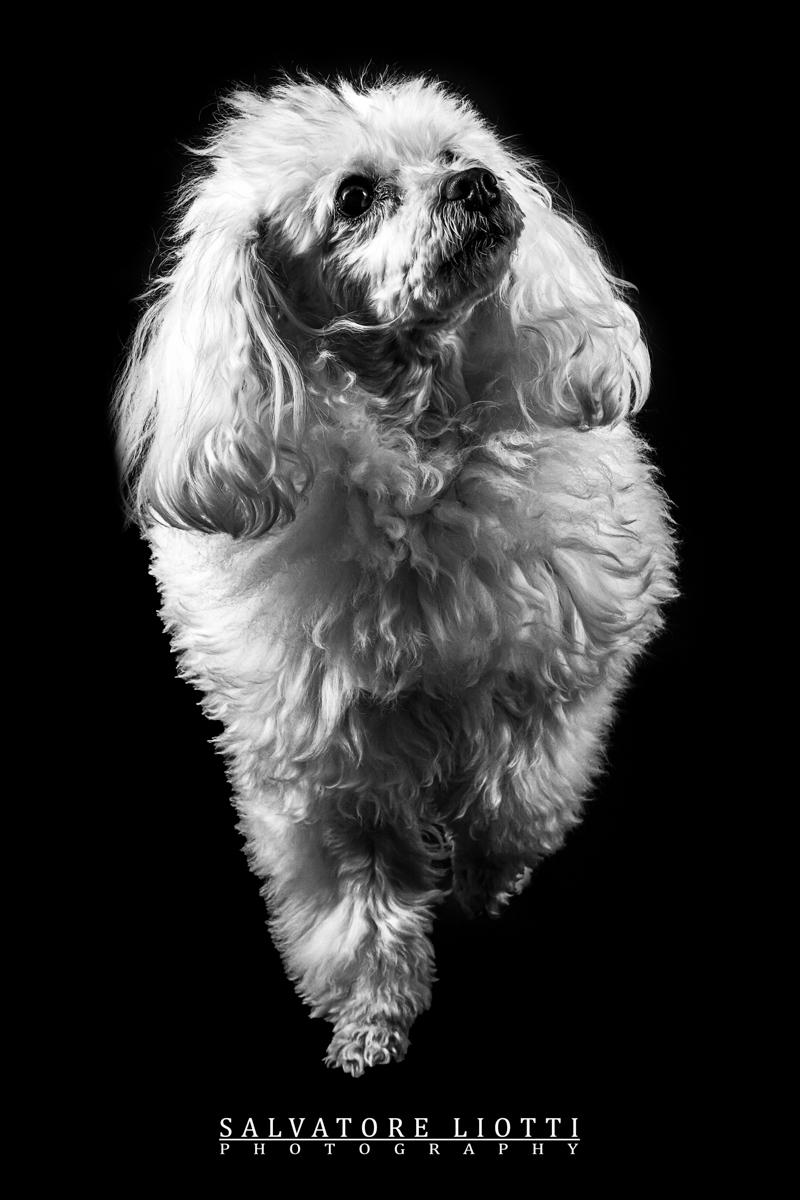 cane barboncino bianco con sguardo serio