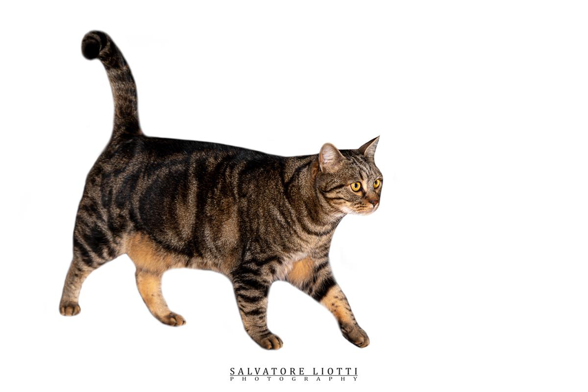 gatto tigrato sguardo attento su sfondo bianco