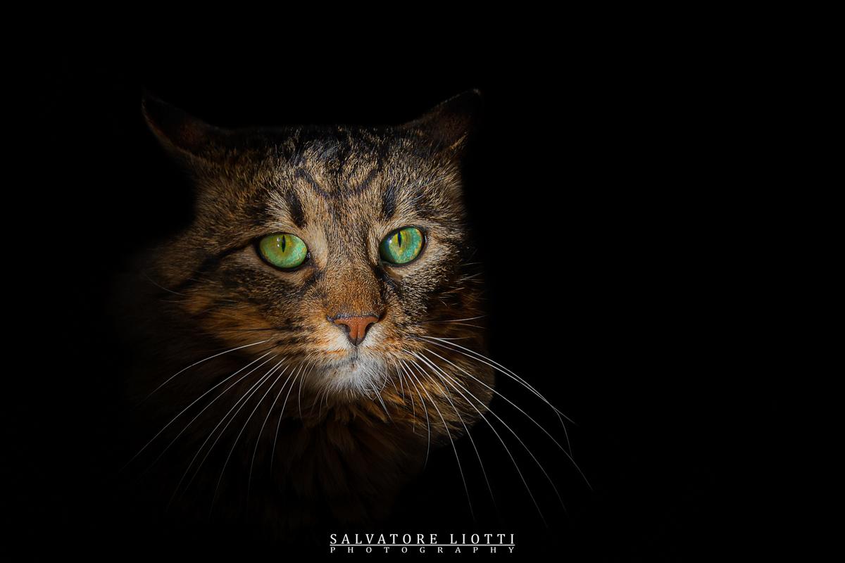 ritratto di gatto tigrato con occhi verdi